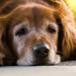 老犬(シニア犬)にオススメのドッグフードって?各社比較してみた結果